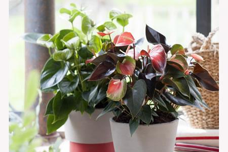 Anthurium, Woonplant van de maand juni