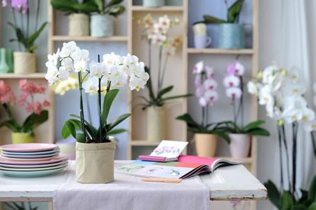 Phalaenopsis, Woonplant van de Maand december