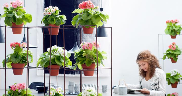 Primula, Woonplant van de maand februari
