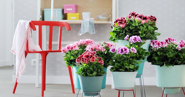 Franse Geranium, Woonplant van de maand maart 2015