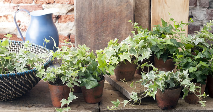 Klimop, Woonplant van de maand april