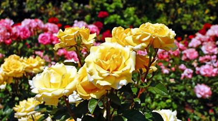 tuinplant_vd_maand_mei_rozen2